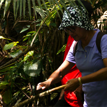 Foraging Umbut (edible palm) from the jungle