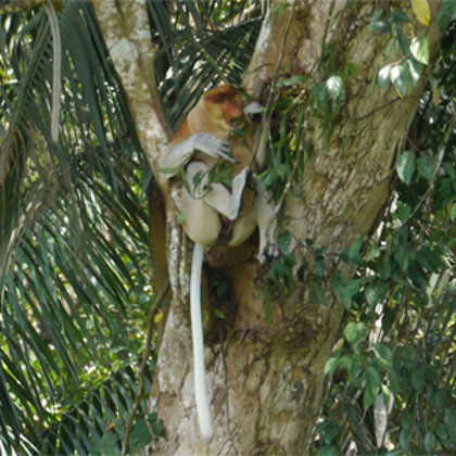 Spotting proboscis monkeys away from the tourist trail