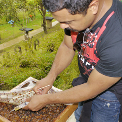 Extracting stingless bee honey directly from the hive